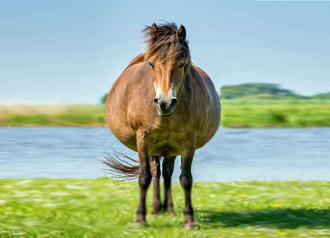 Pregnant horse with fat belly