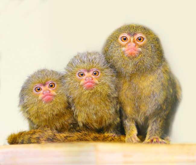 Pygmy Marmoset monkeys