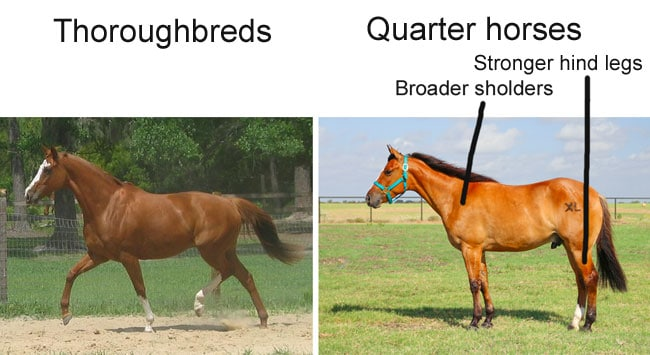 Quarter horses vs. Thoroughbreds