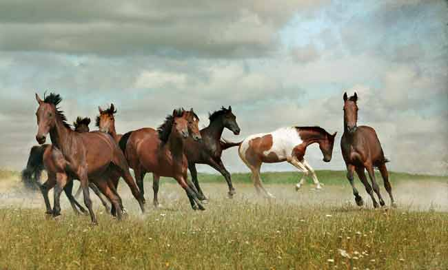 Wild mustangs in a flock