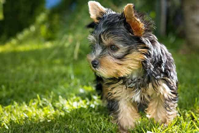 Yorkshire terrier shedding
