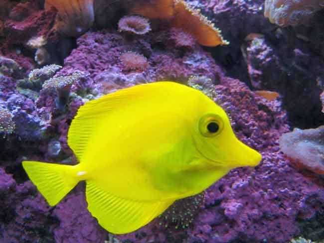 Bubbles from Finding Nemo is a Yellow Tang fish